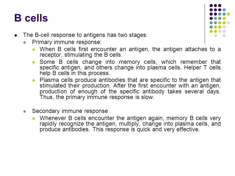 B cells The B-cell response to antigens has two stages: Primary immune response: When B cells first encounter an antigen, the antigen attaches to a re