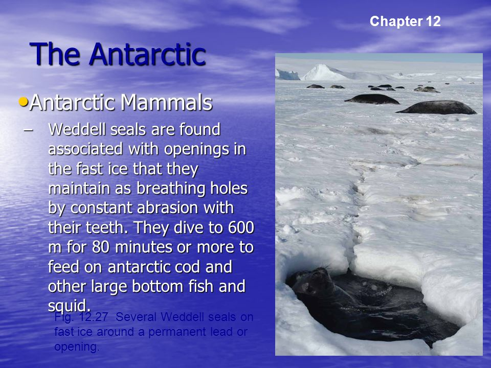 The Antarctic Antarctic Mammals Antarctic Mammals –Weddell seals are found associated with openings in the fast ice that they maintain as breathing holes by constant abrasion with their teeth.