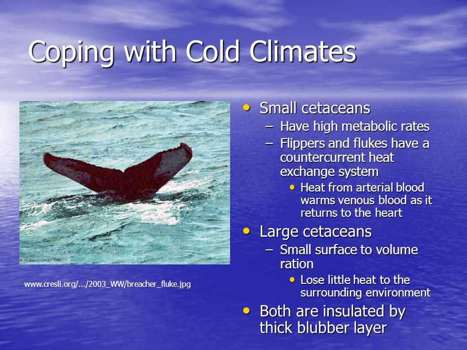 Coping with Cold Climates Small cetaceans Small cetaceans –Have high metabolic rates –Flippers and flukes have a countercurrent heat exchange system Heat from arterial blood warms venous blood as it returns to the heart Large cetaceans Large cetaceans –Small surface to volume ration Lose little heat to the surrounding environment Both are insulated by thick blubber layer Both are insulated by thick blubber layer www.cresli.org/.../2003_WW/breacher_fluke.jpg