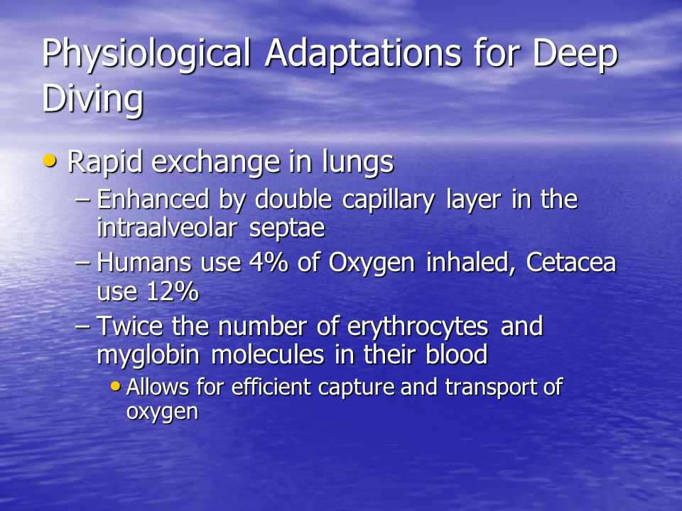 Physiological Adaptations for Deep Diving Rapid exchange in lungs Rapid exchange in lungs –Enhanced by double capillary layer in the intraalveolar septae –Humans use 4% of Oxygen inhaled, Cetacea use 12% –Twice the number of erythrocytes and myglobin molecules in their blood Allows for efficient capture and transport of oxygen Allows for efficient capture and transport of oxygen