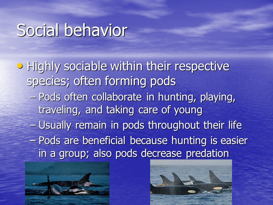 Social behavior Highly sociable within their respective species; often forming pods Highly sociable within their respective species; often forming pods –Pods often collaborate in hunting, playing, traveling, and taking care of young –Usually remain in pods throughout their life –Pods are beneficial because hunting is easier in a group; also pods decrease predation