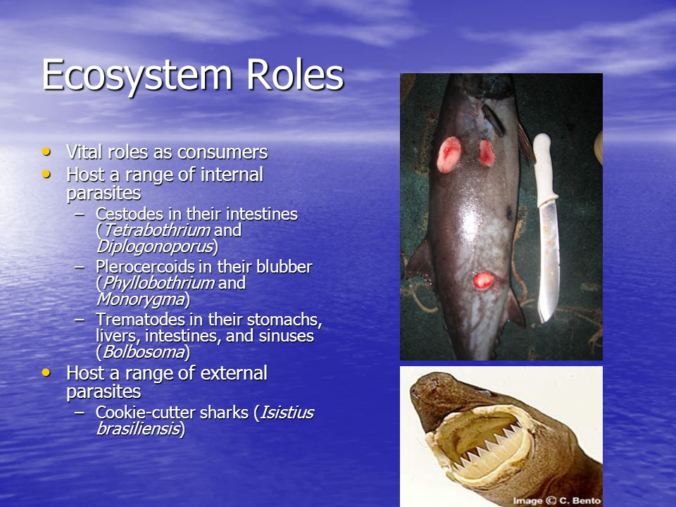 Ecosystem Roles Vital roles as consumers Vital roles as consumers Host a range of internal parasites Host a range of internal parasites –Cestodes in their intestines (Tetrabothrium and Diplogonoporus) –Plerocercoids in their blubber (Phyllobothrium and Monorygma) –Trematodes in their stomachs, livers, intestines, and sinuses (Bolbosoma) Host a range of external parasites Host a range of external parasites –Cookie-cutter sharks (Isistius brasiliensis)