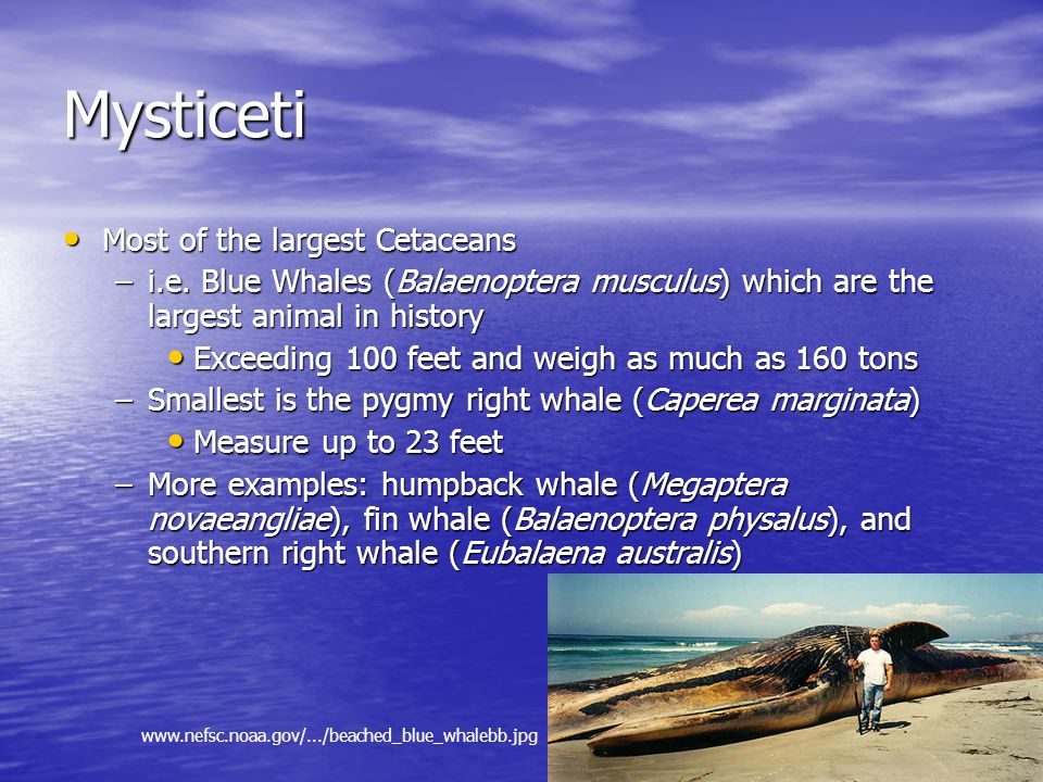 Mysticeti Most of the largest Cetaceans Most of the largest Cetaceans –i.e.