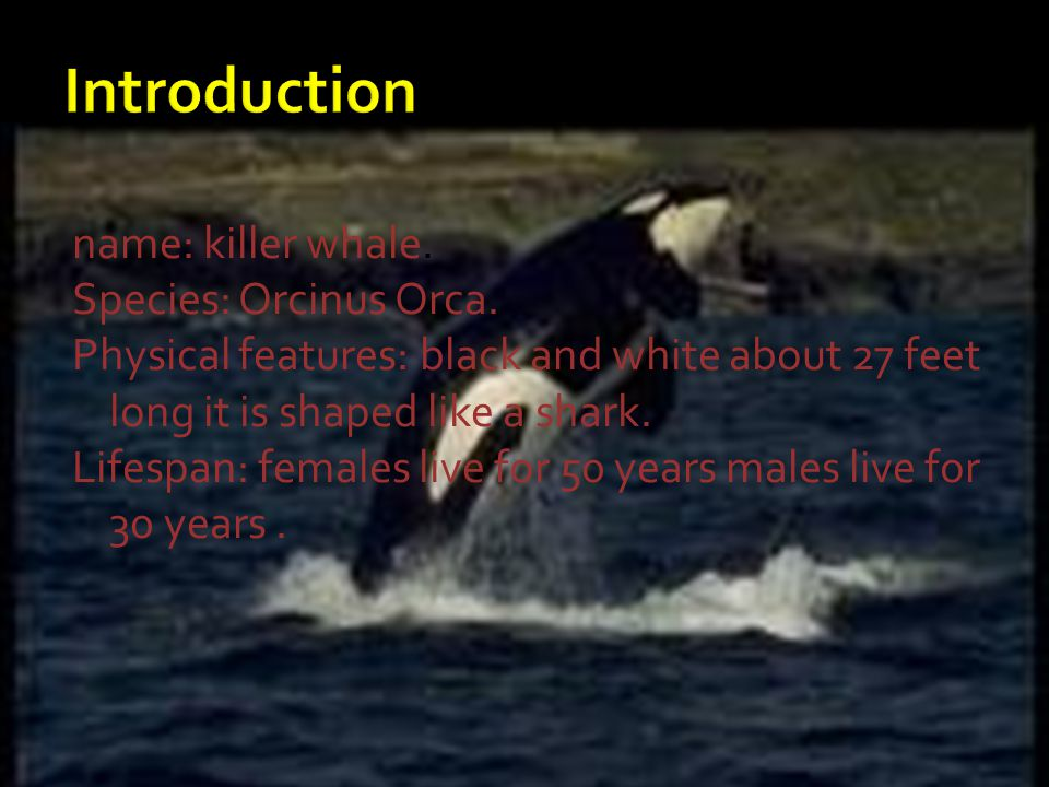 name: killer whale. Species: Orcinus Orca. Physical features: black and white about 27 feet long it is shaped like a shark. Lifespan: females live for