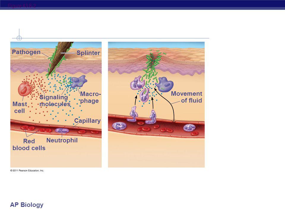 AP Biology Figure 43.8-1 Pathogen Splinter Mast cell Macro- phage Capillary Red blood cells Neutrophil Signaling molecules