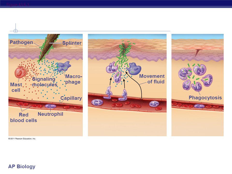 AP Biology Figure 43.8-2 Pathogen Splinter Mast cell Macro- phage Capillary Red blood cells Neutrophil Signaling molecules Movement of fluid