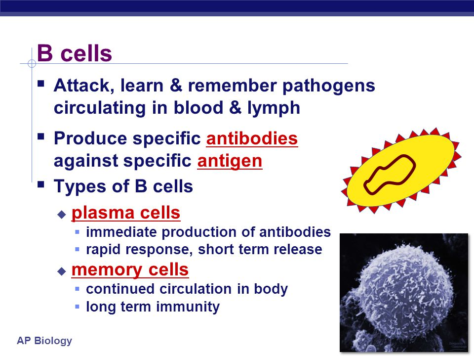 AP Biology Humoral (antibody-mediated) immune response Cell-mediated immune response Antigen (1st exposure) Engulfed by Antigen- presenting cell Helper T cell Memory helper T cells Antigen (2nd exposure) B cell Plasma cells Secreted antibodies Defend against extracellular pathogens Memory B cells Memory cytotoxic T cells Active cytotoxic T cells Defend against intracellular pathogens and cancer Cytotoxic T cell Key Stimulates Gives rise to           Figure 43.20