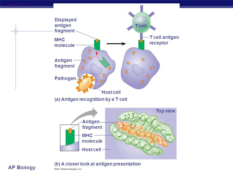 AP Biology T cells  Attack, learn & remember pathogens hiding in infected cells  recognize antigen fragments  also defend against non-self body cells  cancer & transplant cells  Types of T cells  helper T cells  alerts rest of immune system  killer (cytotoxic) T cells  attack infected body cells  memory T cells  long term immunity T cell attacking cancer cell