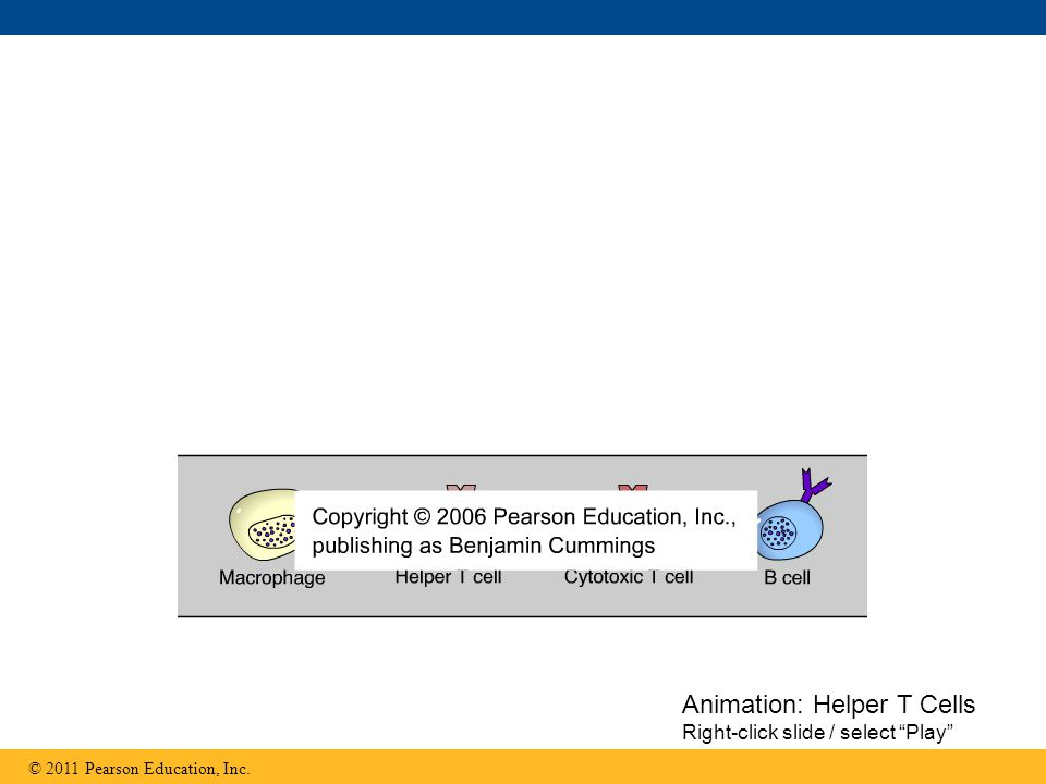© 2011 Pearson Education, Inc. Animation: Helper T Cells Right-click slide / select Play