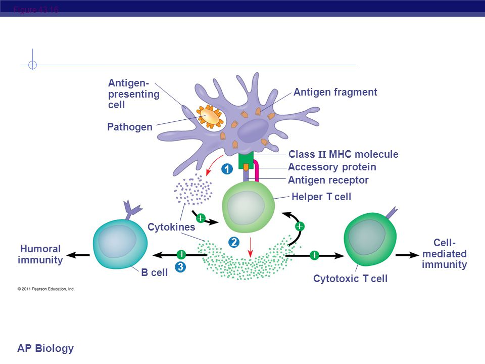 AP Biology Figure 43.16 Antigen- presenting cell Pathogen Antigen fragment Class II MHC molecule Accessory protein Antigen receptor Helper T cell Cytokines Humoral immunity Cell- mediated immunity B cell Cytotoxic T cell 321    
