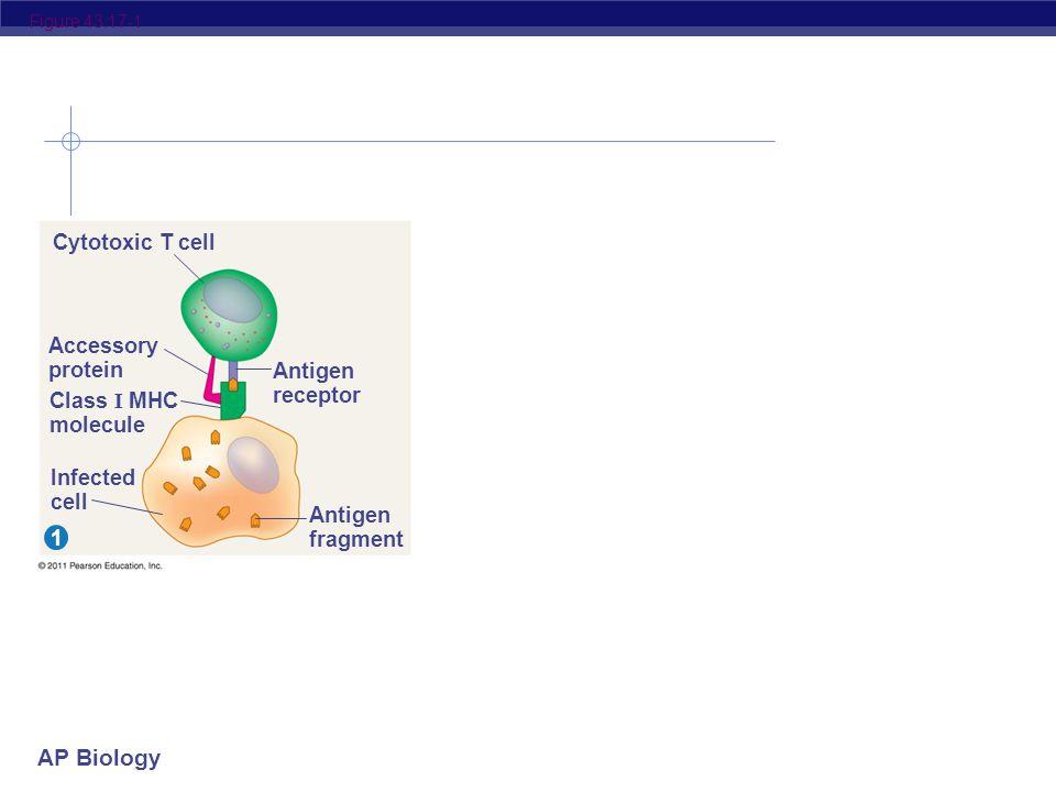 AP Biology Figure 43.16 Antigen- presenting cell Pathogen Antigen fragment Class II MHC molecule Accessory protein Antigen receptor Helper T cell Cytokines Humoral immunity Cell- mediated immunity B cell Cytotoxic T cell 321    