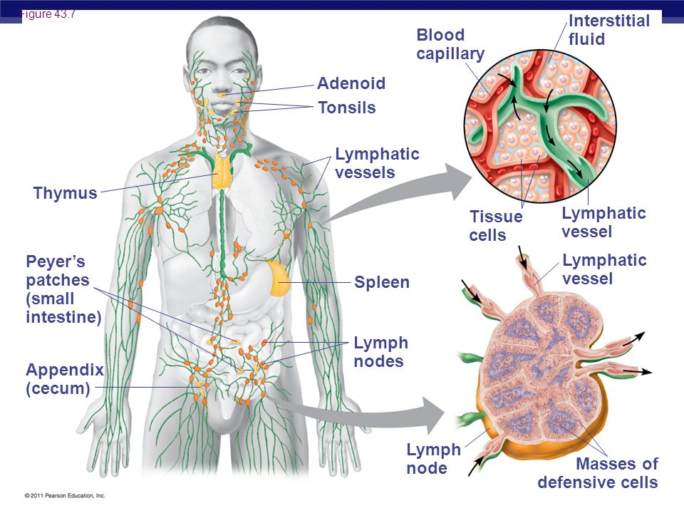 AP Biology Thymus Peyer's patches (small intestine) Appendix (cecum) Adenoid Tonsils Lymphatic vessels Spleen Lymph nodes Lymph node Blood capillary Interstitial fluid Tissue cells Lymphatic vessel Masses of defensive cells Figure 43.7