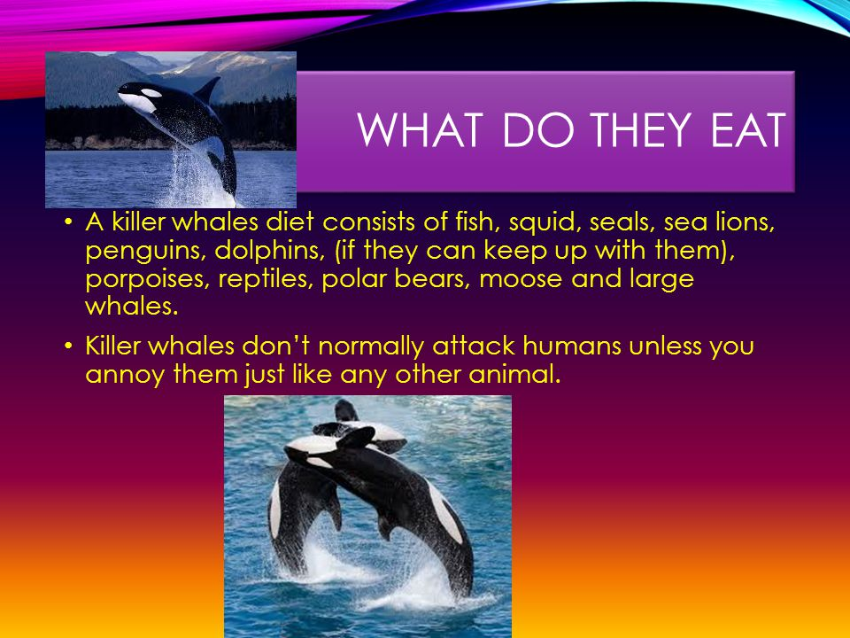 WHAT DO THEY EAT A killer whales diet consists of fish, squid, seals, sea lions, penguins, dolphins, (if they can keep up with them), porpoises, reptiles, polar bears, moose and large whales.