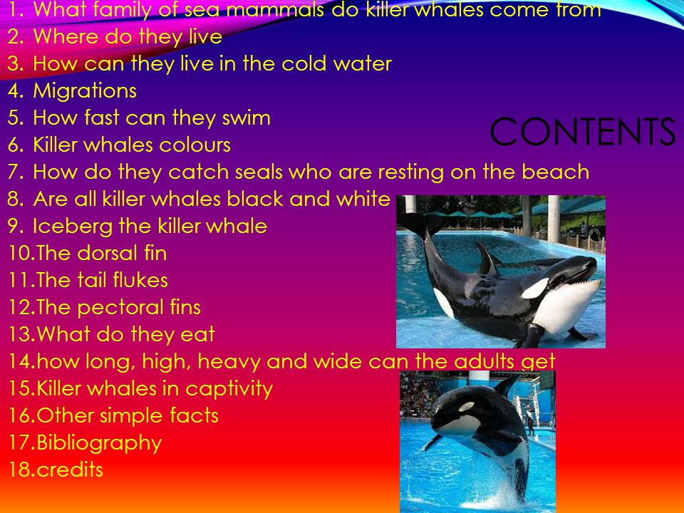 CONTENTS 1.What family of sea mammals do killer whales come from 2.Where do they live 3.How can they live in the cold water 4.Migrations 5.How fast can they swim 6.Killer whales colours 7.How do they catch seals who are resting on the beach 8.Are all killer whales black and white 9.Iceberg the killer whale 10.The dorsal fin 11.The tail flukes 12.The pectoral fins 13.What do they eat 14.how long, high, heavy and wide can the adults get 15.Killer whales in captivity 16.Other simple facts 17.Bibliography 18.credits