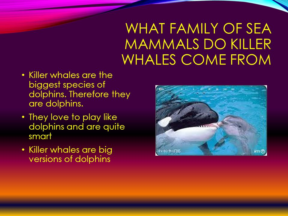 WHAT FAMILY OF SEA MAMMALS DO KILLER WHALES COME FROM Killer whales are the biggest species of dolphins.