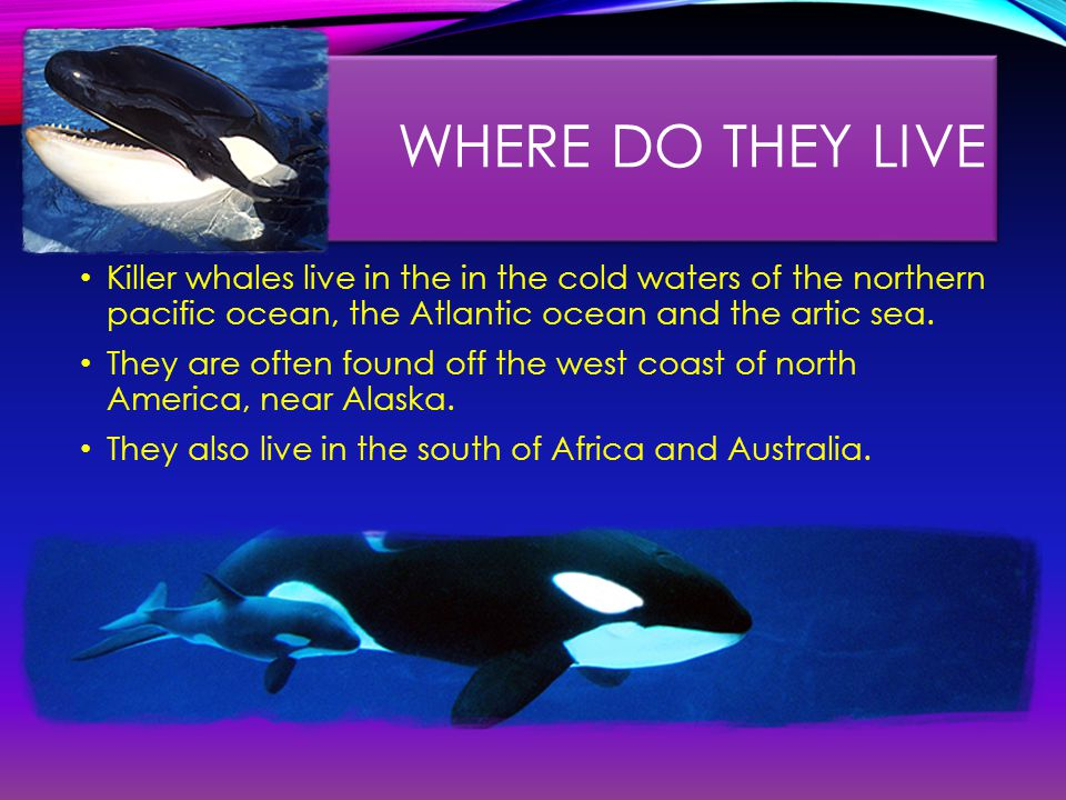 WHERE DO THEY LIVE Killer whales live in the in the cold waters of the northern pacific ocean, the Atlantic ocean and the artic sea.