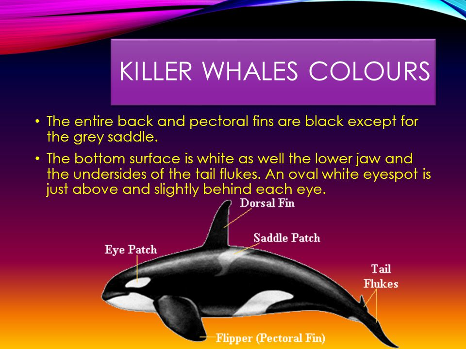 KILLER WHALES COLOURS The entire back and pectoral fins are black except for the grey saddle.