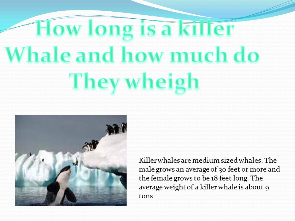 Killer whales are medium sized whales.