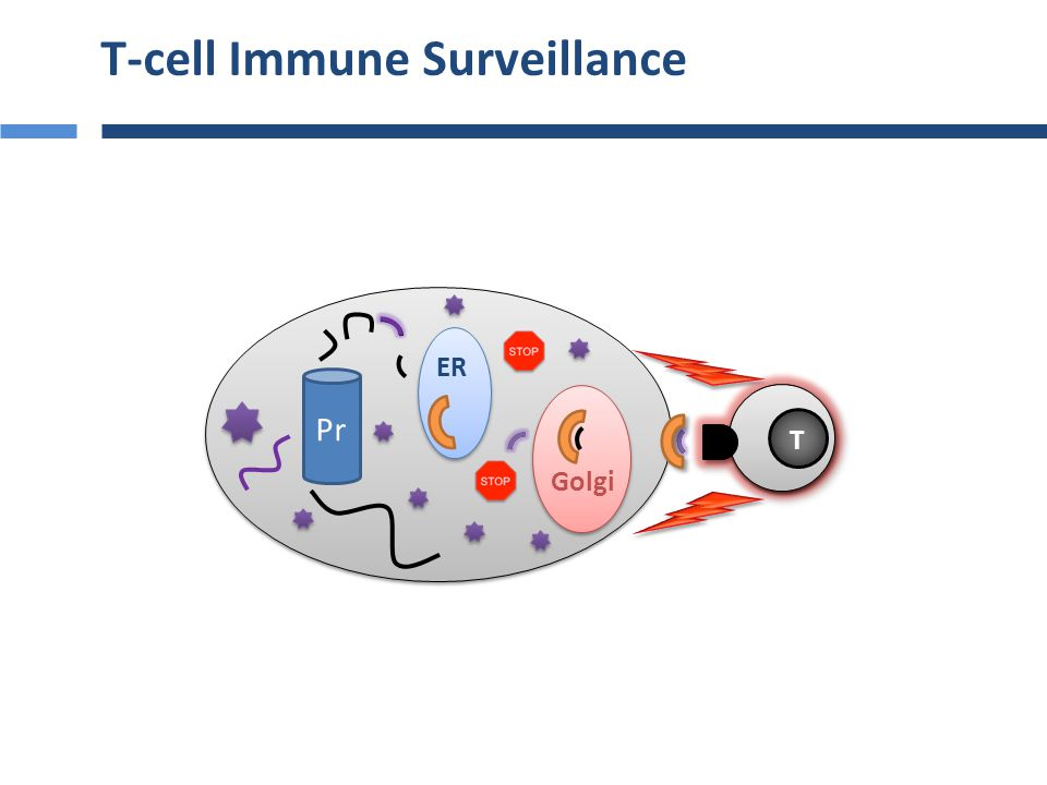 NK cell Immune Surveillance Pr ER Golgi NK + -