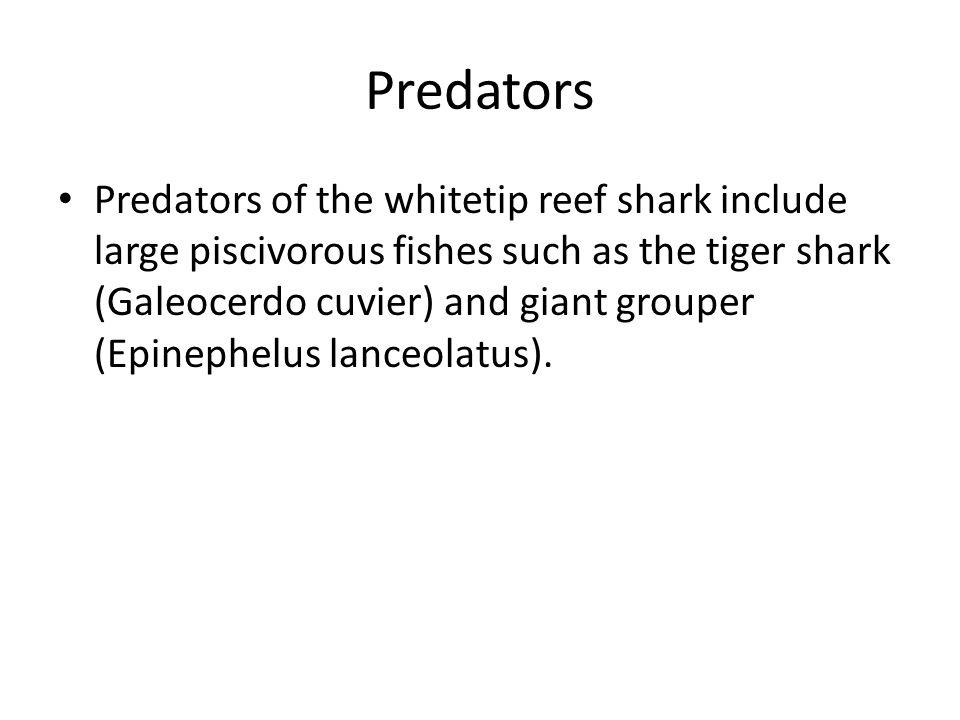 Foods for whitetips sharks.