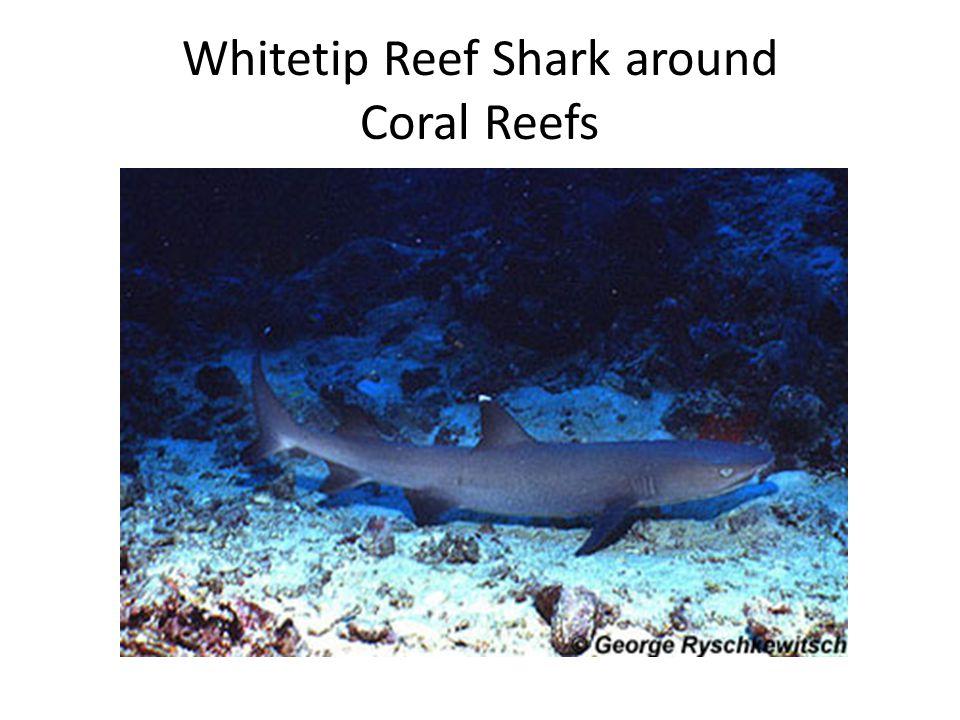 Whitetip Reef Shark around Coral Reefs