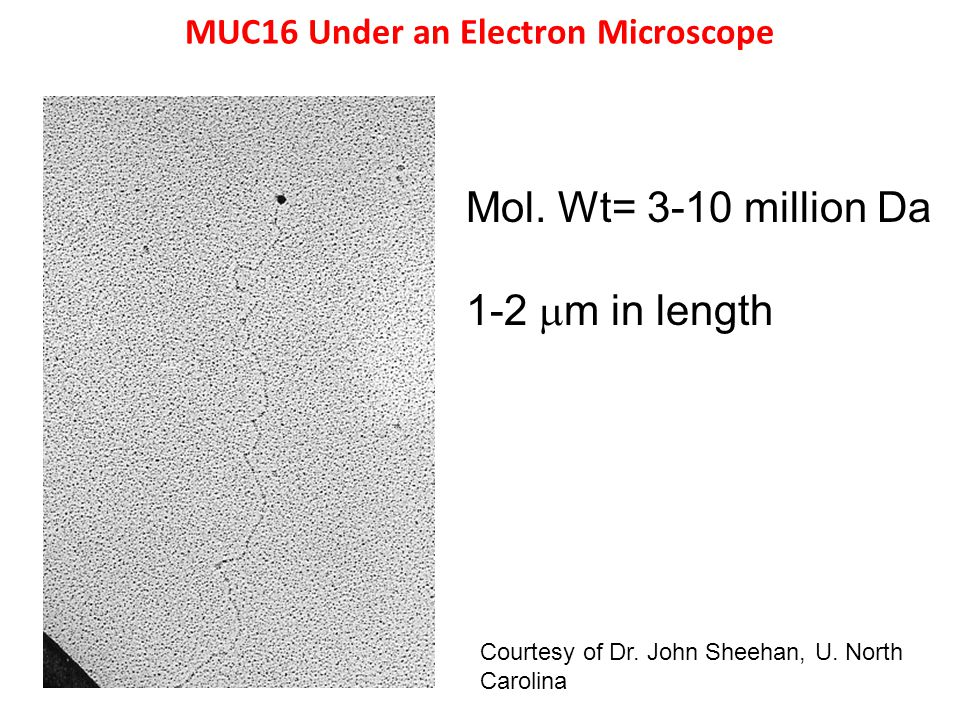 MUC16 Under an Electron Microscope Mol. Wt= 3-10 million Da 1-2  m in length Courtesy of Dr.