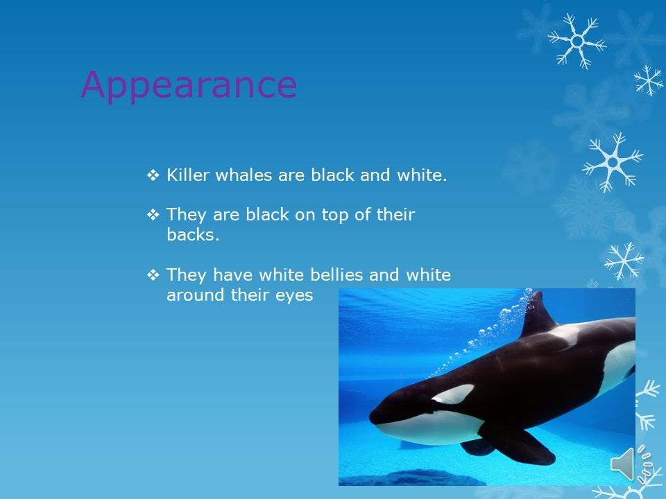Diet  Killer whales are great hunters  Killer whales are meat eaters  They eat sea birds, fish and squid too.