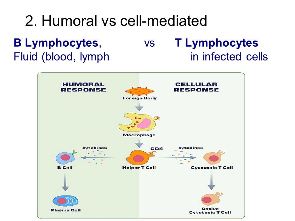 2. Humoral vs cell-mediated B Lymphocytes, vs T Lymphocytes Fluid (blood, lymphin infected cells