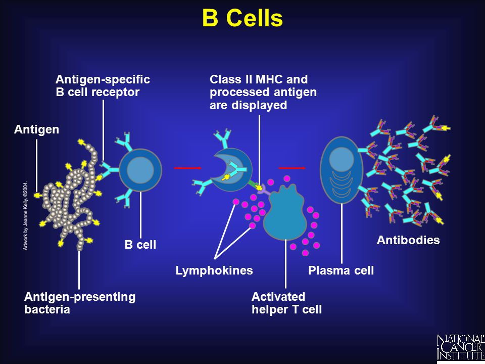 B Cells Plasma cell Class II MHC and processed antigen are displayed Antigen-presenting bacteria Antigen Antigen-specific B cell receptor Antibodies B cell Activated helper T cell Lymphokines