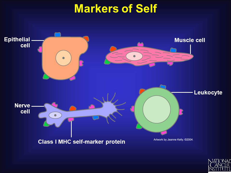 Markers of Self Muscle cell Nerve cell Epithelial cell Leukocyte Class I MHC self-marker protein