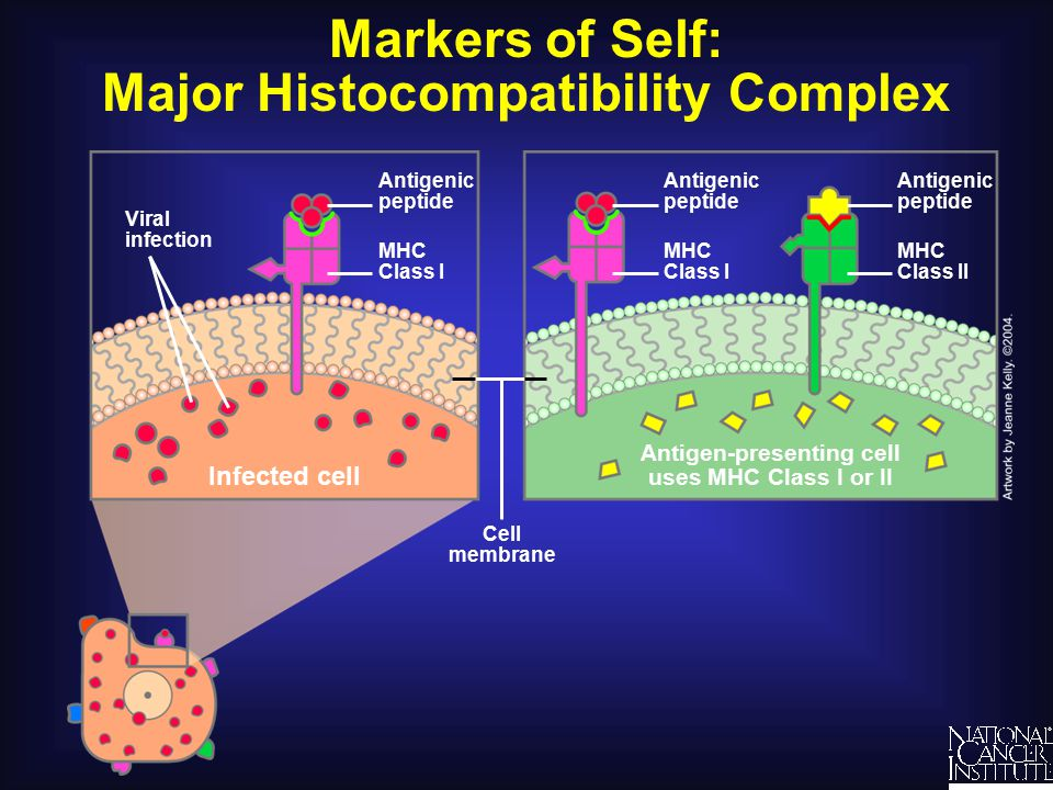 Markers of Self: Major Histocompatibility Complex Antigenic peptide Antigen-presenting cell uses MHC Class I or II Cell membrane MHC Class II Antigenic peptide Viral infection Infected cell MHC Class I Antigenic peptide MHC Class I