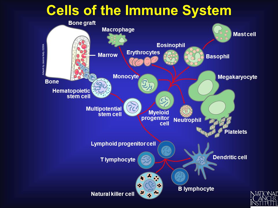 Mounting an Immune Response Complement Virus Killer cell B cell Antibodies T cell Lymphokines Macrophage