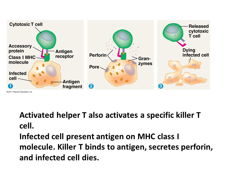 Activated helper T also activates a specific killer T cell.