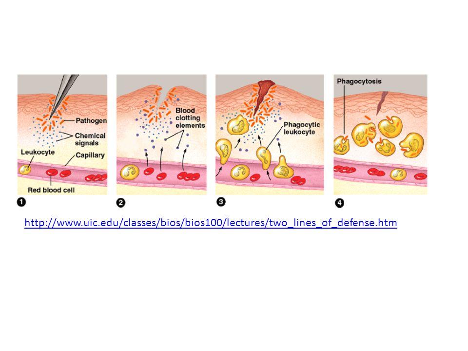 C.The Primary immune response: first exposure to pathogen 1.