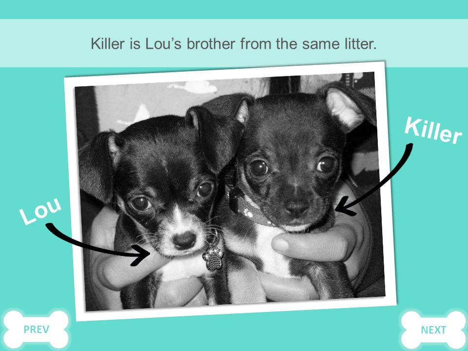 Killer is Lou's brother from the same litter. Lou Killer PREVNEXT