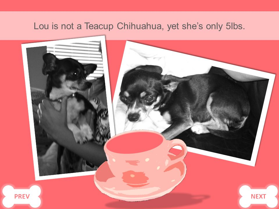 Lou is not a Teacup Chihuahua, yet she's only 5lbs. PREV NEXT