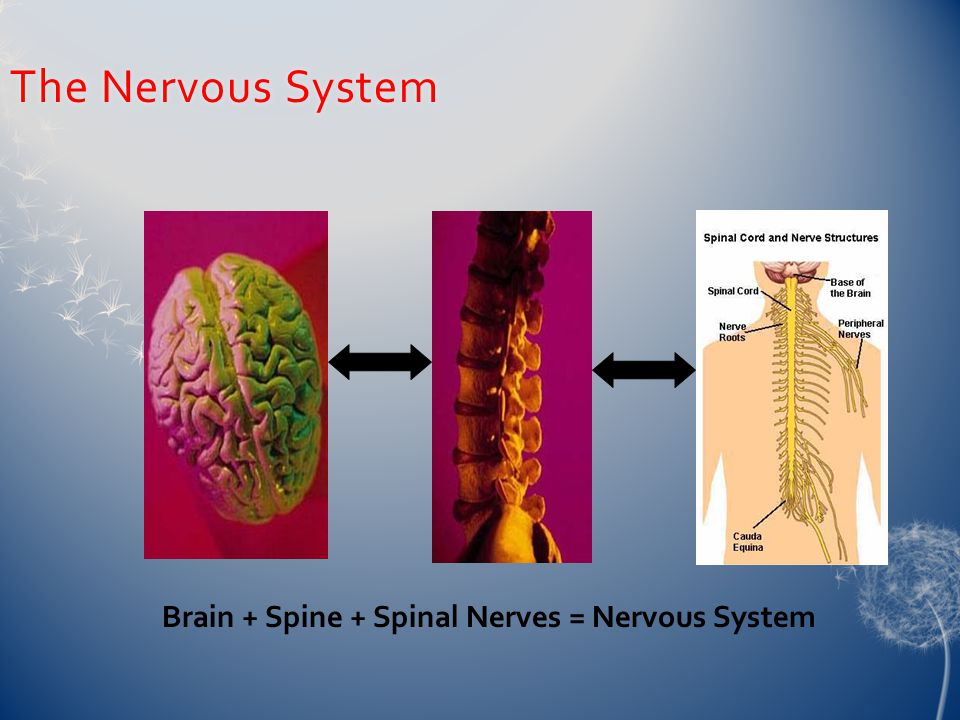 The Nervous SystemThe Nervous System Brain + Spine + Spinal Nerves = Nervous System