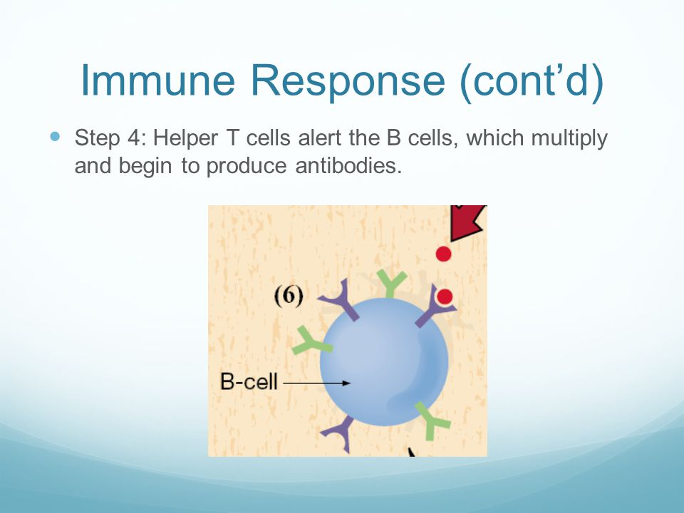 Immune Response (cont'd) Step 4: Helper T cells alert the B cells, which multiply and begin to produce antibodies.