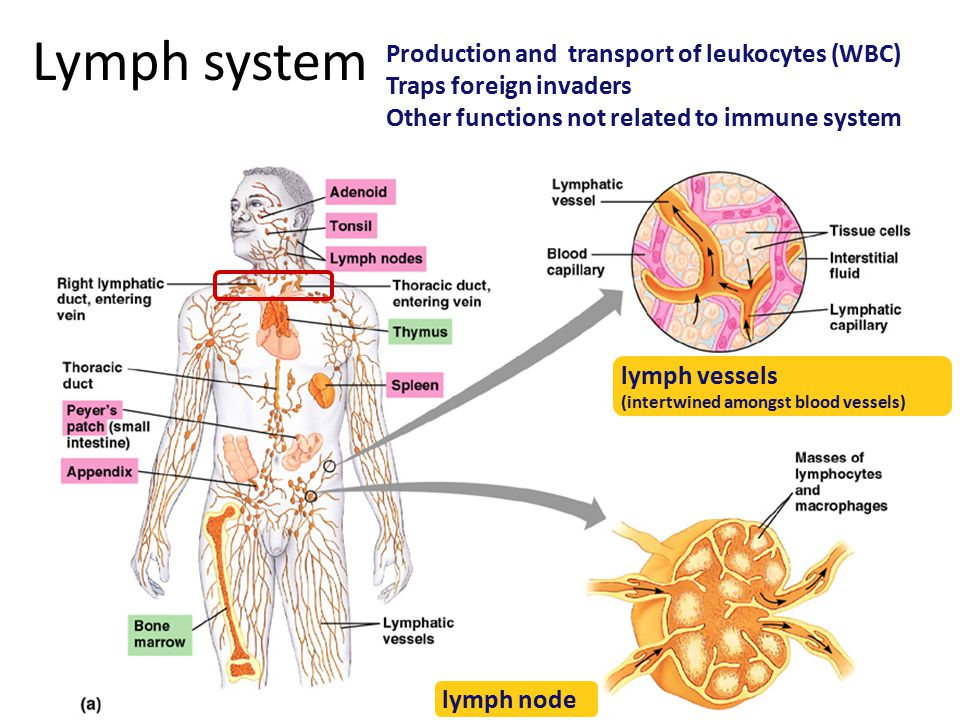 Lymph system Production and transport of leukocytes (WBC) Traps foreign invaders Other functions not related to immune system lymph node lymph vessels (intertwined amongst blood vessels)