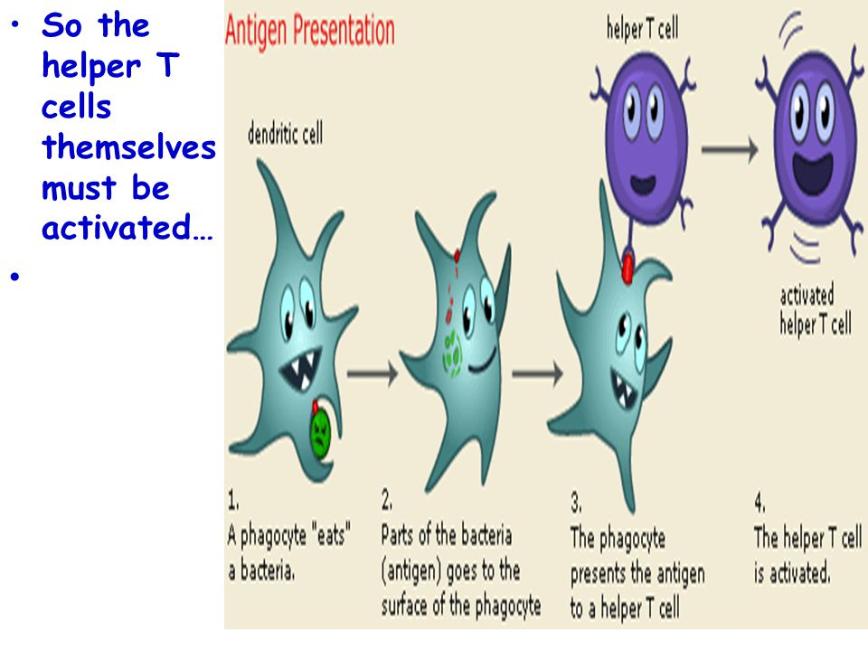 So the helper T cells themselves must be activated…