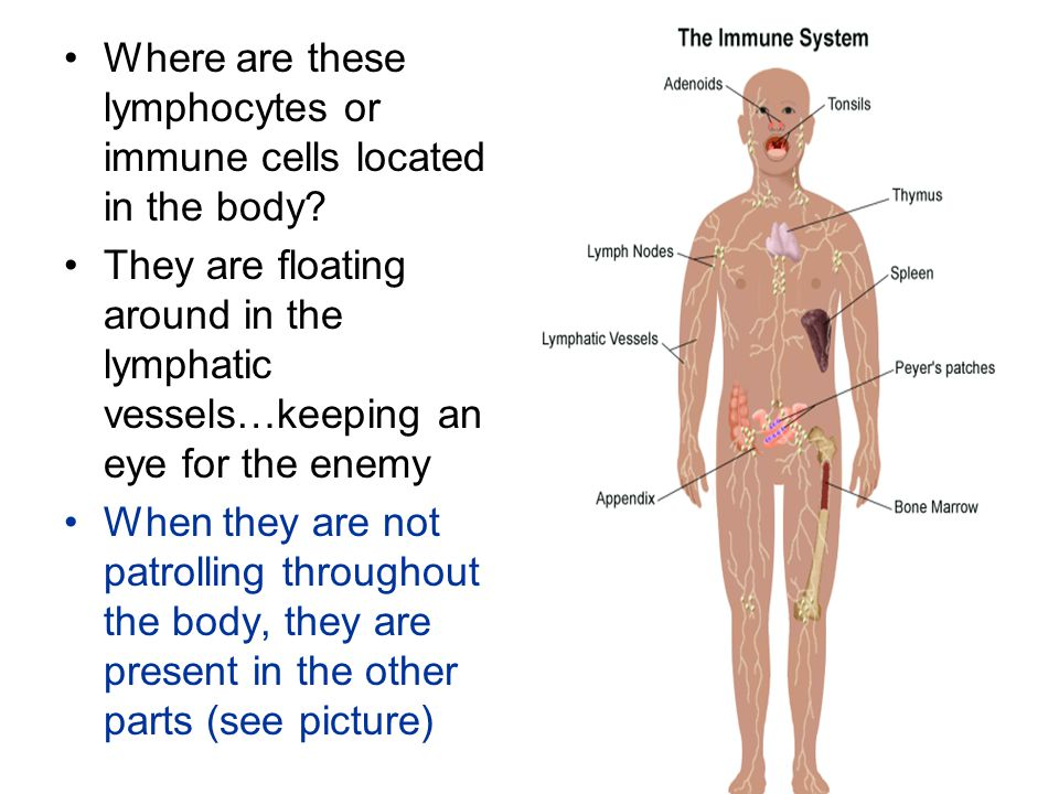Where are these lymphocytes or immune cells located in the body.