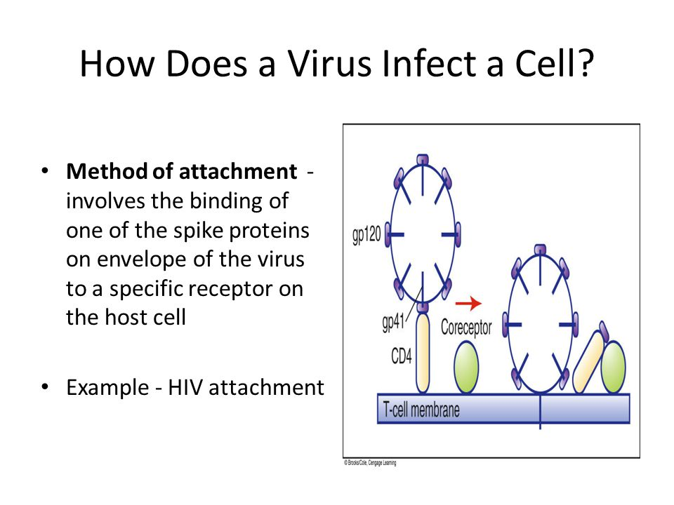 How Does a Virus Infect a Cell? Method of attachment - involves the binding of one of the spike proteins on envelope of the virus to a specific recept