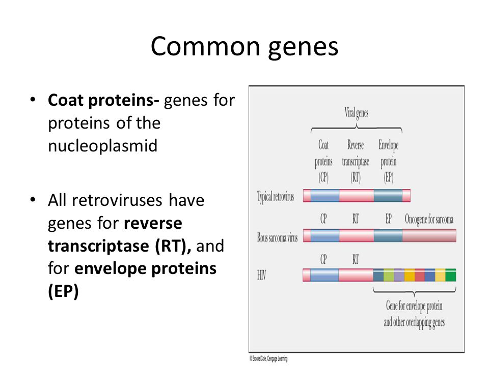 Common genes Coat proteins- genes for proteins of the nucleoplasmid All retroviruses have genes for reverse transcriptase (RT), and for envelope proteins (EP)