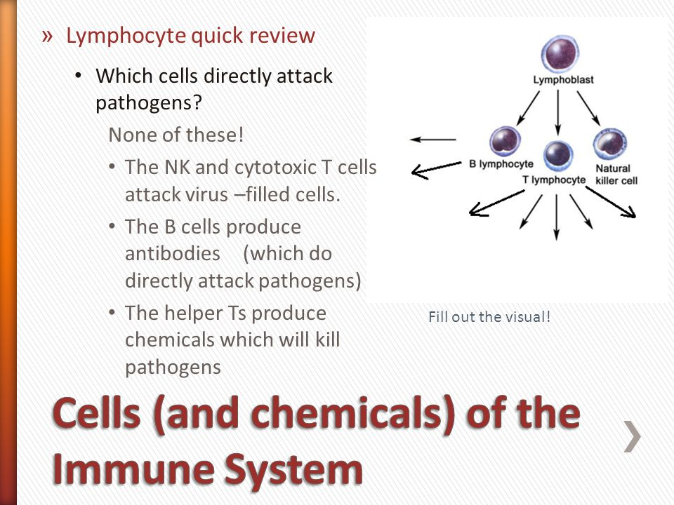 The humoral immune response involves the production of antibodies and memory B lymphocytes.