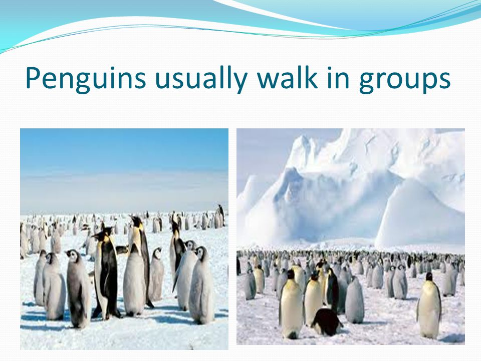 Penguins usually walk in groups