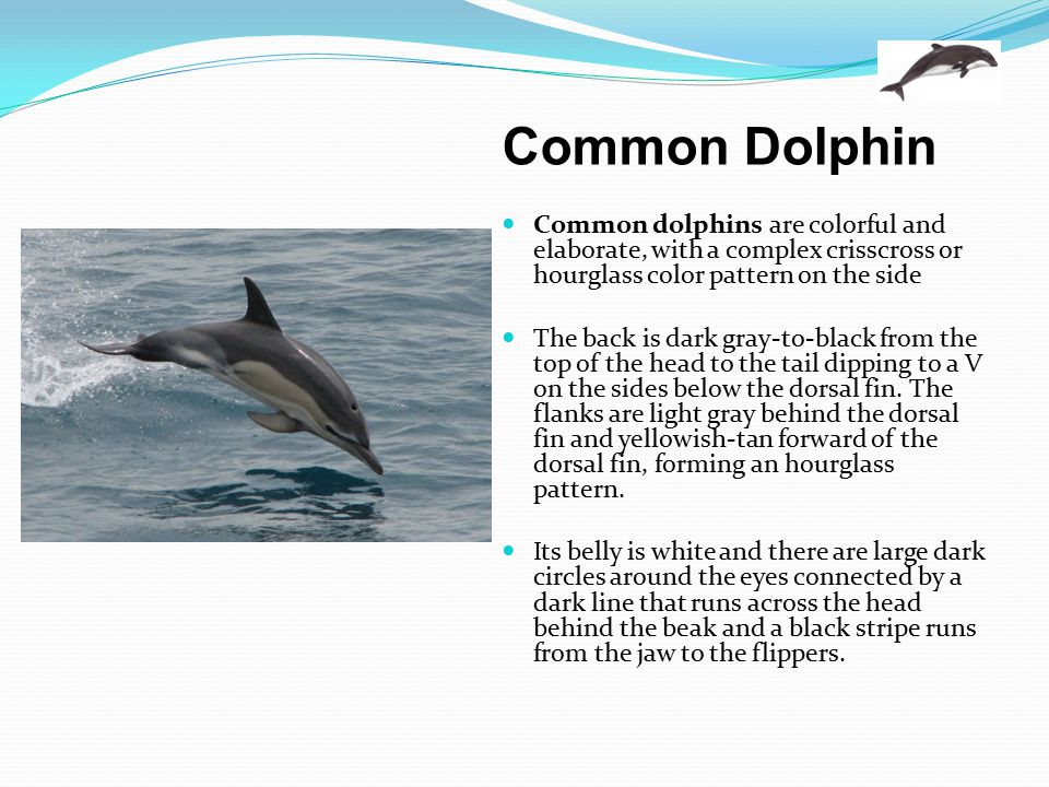 Common Dolphin Common dolphins are colorful and elaborate, with a complex crisscross or hourglass color pattern on the side The back is dark gray-to-b