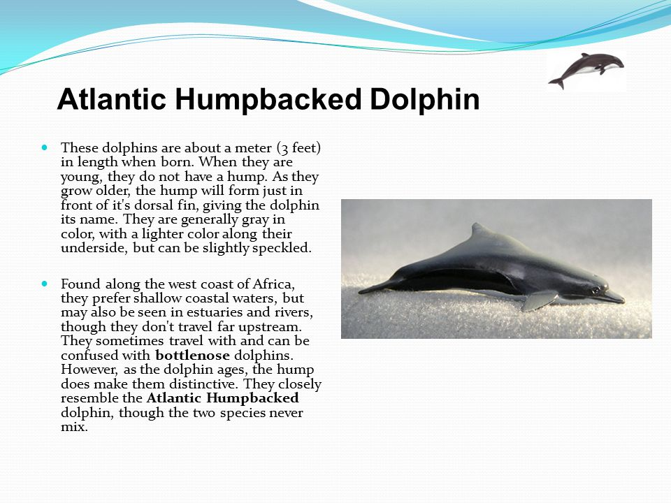 These dolphins are about a meter (3 feet) in length when born. When they are young, they do not have a hump. As they grow older, the hump will form ju