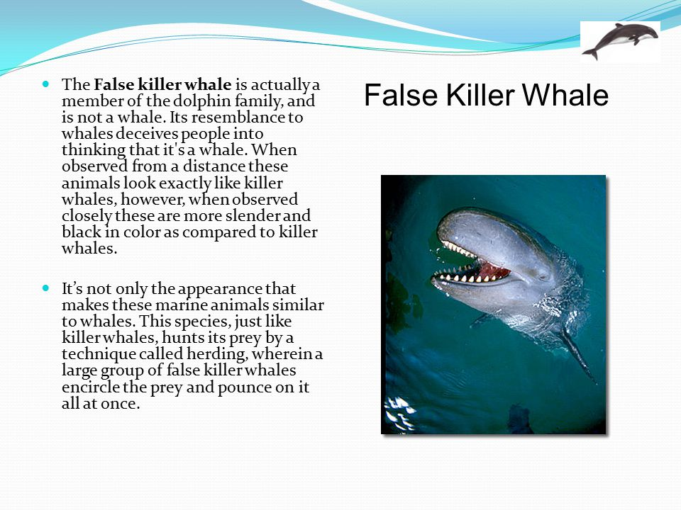 The False killer whale is actually a member of the dolphin family, and is not a whale. Its resemblance to whales deceives people into thinking that it