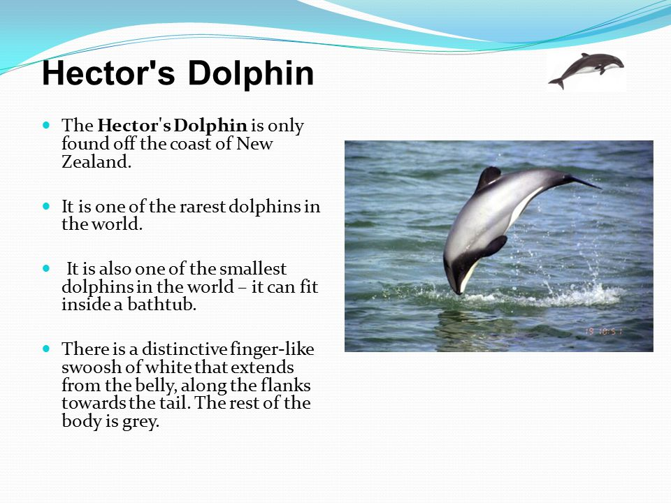 Hector's Dolphin The Hector's Dolphin is only found off the coast of New Zealand. It is one of the rarest dolphins in the world. It is also one of the