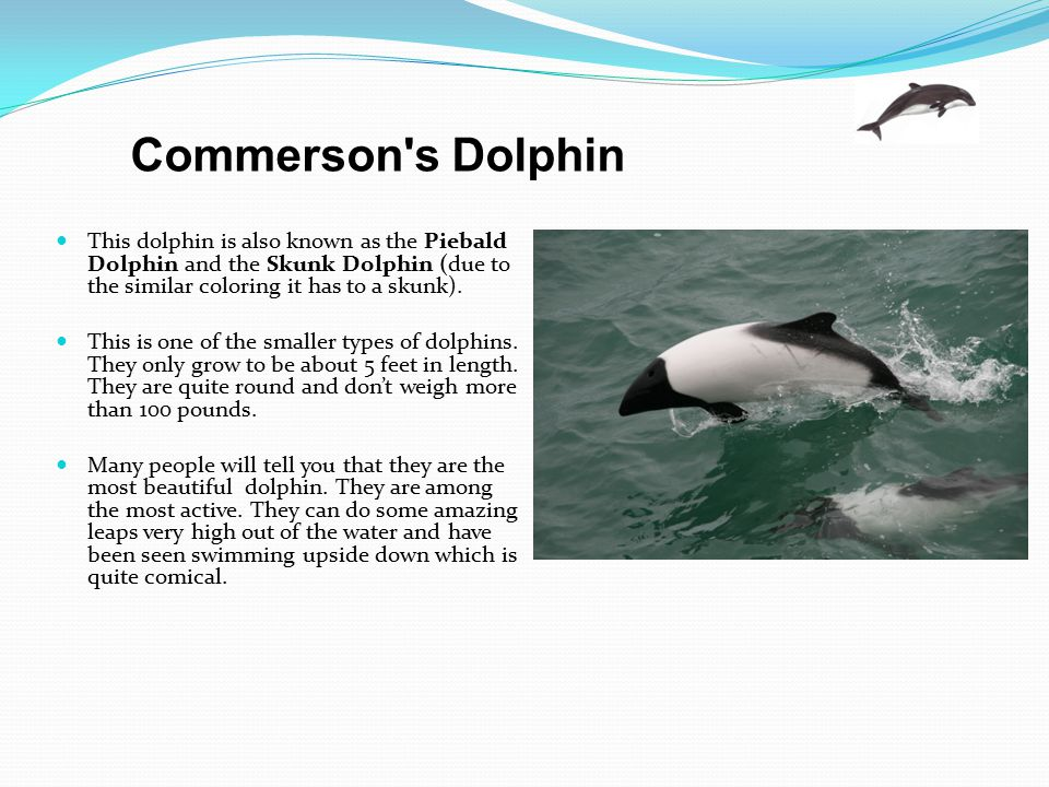 This dolphin is also known as the Piebald Dolphin and the Skunk Dolphin (due to the similar coloring it has to a skunk). This is one of the smaller ty